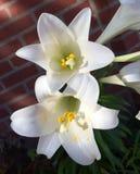 Утро цветет Sunlit маргаритка Стоковая Фотография