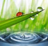 утро ladybird росы свежее Стоковые Фотографии RF