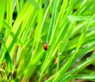 утро ladybird росы свежее Стоковая Фотография