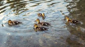 Утята дикой утки кряквы плавая в воде Стоковые Изображения RF