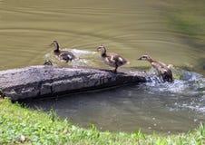 Утята кряквы в мелком озере в парке Watercrest, Даллас, Техасе стоковая фотография