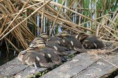 Утята кряквы или дикой утки Стоковые Фотографии RF