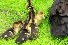 Утята около курицы утки Muscovy в траве стоковая фотография