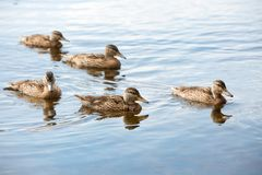 Утята плавая в воду Стоковая Фотография RF