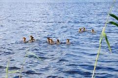 утята плавая озеро группы Стоковая Фотография