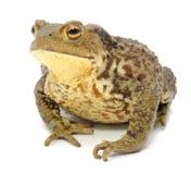 ухабистая близкая жаба вверх Стоковое Фото