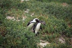Ухаживание мужчина и женский африканский пингвин в траве, Стоковое Фото