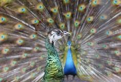 Ухаживание peafowl стоковая фотография