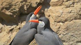 Ухаживать птиц тройки Inca Стоковая Фотография