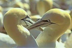 ухаживая st lawrence залива gannets северный Стоковая Фотография