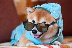 Ухищренная и счастливая собака inu shiba Стоковые Фото