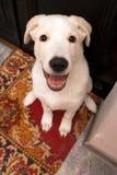 ухищренная собака счастливая смотрит вверх Стоковые Изображения RF