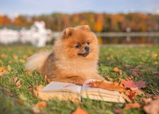 Ухищренная собака с книгой Собака Pomeranian внешняя Стоковое фото RF