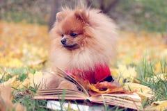 Ухищренная собака с книгой Собака Pomeranian в парке осени с книгой Стоковое Изображение
