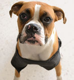 ухищренная собака Стоковое Изображение
