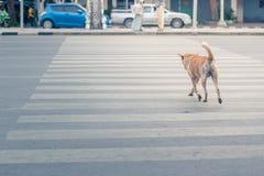 Ухищренная тайская дорога скрещивания собаки с crosswalk Стоковая Фотография RF