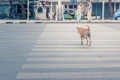 Ухищренная тайская дорога скрещивания собаки с crosswalk Стоковое Изображение RF