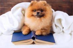 Ухищренная pomeranian собака с книгой Собака приюченная в одеяле с книгой Стоковая Фотография