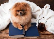 Ухищренная pomeranian собака с книгой Собака приюченная в одеяле с книгой Стоковые Изображения RF