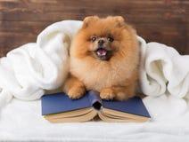 Ухищренная pomeranian собака с книгой Собака приюченная в одеяле с книгой Стоковые Изображения