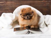 Ухищренная pomeranian собака с книгой Собака приюченная в одеяле с книгой Стоковое Изображение