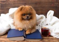 Ухищренная pomeranian собака с книгой Собака приюченная в одеяле с книгой Стоковая Фотография RF