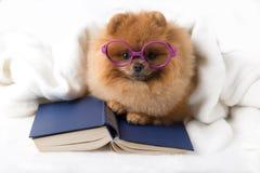 Ухищренная pomeranian собака с книгой Собака приюченная в одеяле с книгой Стоковые Фотографии RF