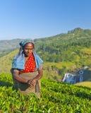 Ухмылки подборщика чая по мере того как она выбирает листья Стоковая Фотография RF
