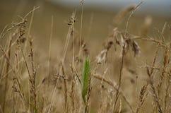 Ухо в поле Стоковые Изображения RF