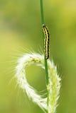 Ухо гусеницы и травы Стоковое фото RF