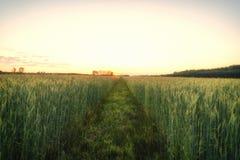 Ухо зеленой пшеницы на зоре Стоковые Фотографии RF