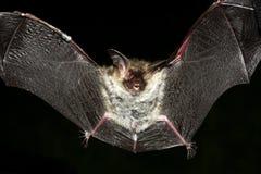 ухо летучей мыши длиннее Стоковое Изображение
