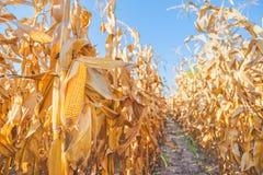 Ухо маиса на черенок в кукурузном поле Стоковые Изображения RF