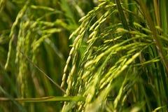Ухо неочищенных рисов Стоковое Фото