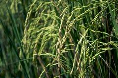 Ухо неочищенных рисов Стоковое Изображение