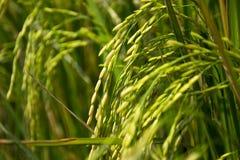 Ухо неочищенных рисов Стоковое фото RF
