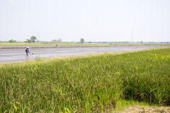 Ухо неочищенных рисов Стоковая Фотография