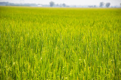 Ухо неочищенных рисов Стоковые Изображения