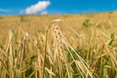 Ухо пшеницы в поле стоковое фото