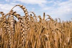Ухо пшеницы на поле Стоковые Фотографии RF