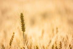 Ухо пшеницы Стоковое Изображение