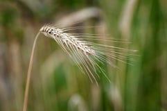 Ухо пшеницы Стоковые Фотографии RF