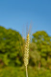 Ухо пшеницы стоковая фотография