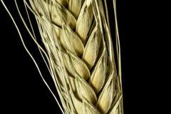 Ухо пшеницы Стоковые Фото