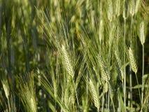 Ухо пшеницы Стоковое Изображение RF