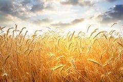 Ухо пшеницы Стоковое Фото