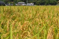 Ухо риса Стоковое Фото