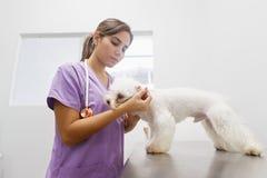 Ухо собаки доктора Чистки в клинике для зооветеринарной профессии стоковая фотография
