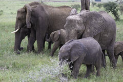 Уход слона младенца Стоковые Изображения