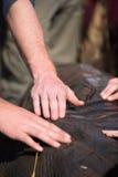 Ухо слона Стоковое фото RF